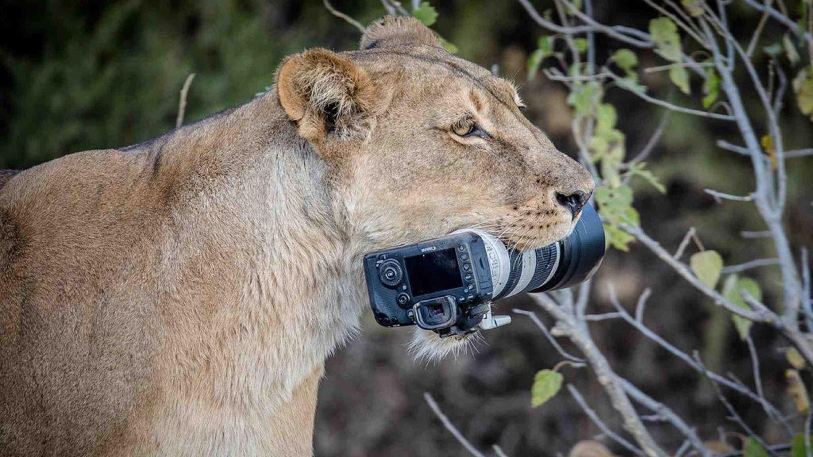 """Sư tử mẹ """"trộm"""" camera ngàn đô của nhiếp ảnh gia hoang dã"""